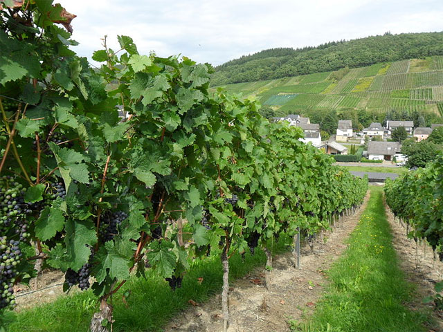 Weinreben in Rheinland Pfalz