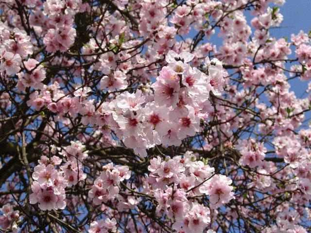 Mandelblüte an der Deutschen Weinstrasse